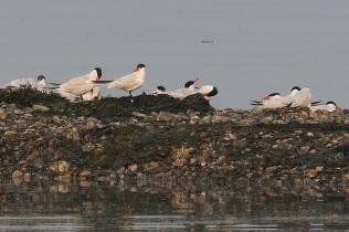 Caspian Terns (TC)