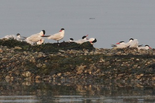 Caspian Terns (TC)