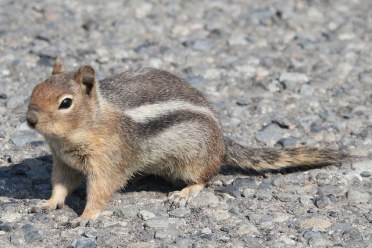 Cascade Golden Mantled Ground Squirrel (TC)
