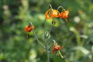 Tiger Lily (TC)