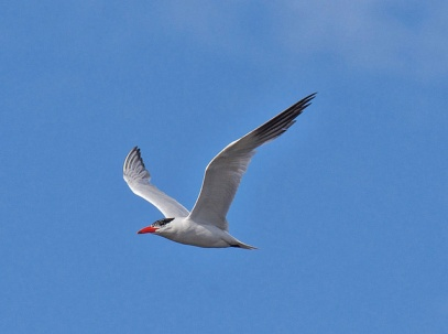 Caspian Tern (BA)