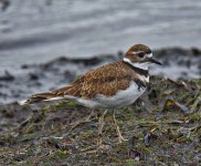 Killdeer (BA)