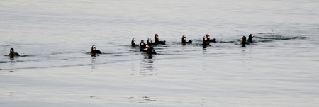 Surf Scoter (GB)