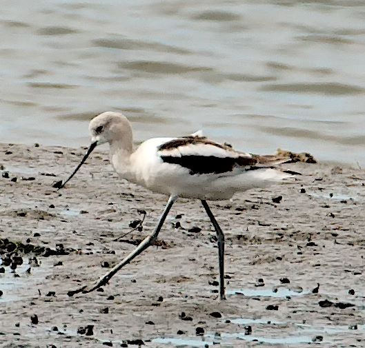 American Avocet (PS)