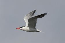 Caspian Tern (TC)
