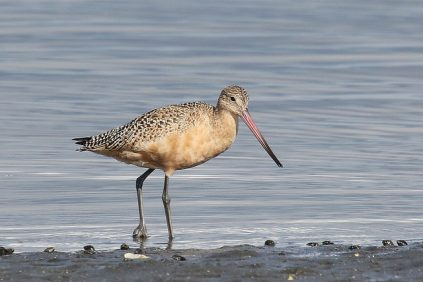 Marbled Godwit (TC)