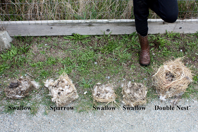 Compare_Swallow_Sparrow_nests