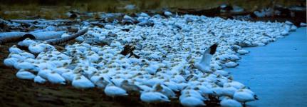 Snow Geese (JMacD)
