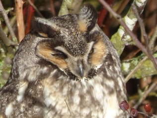Long-eared Owl (RM)