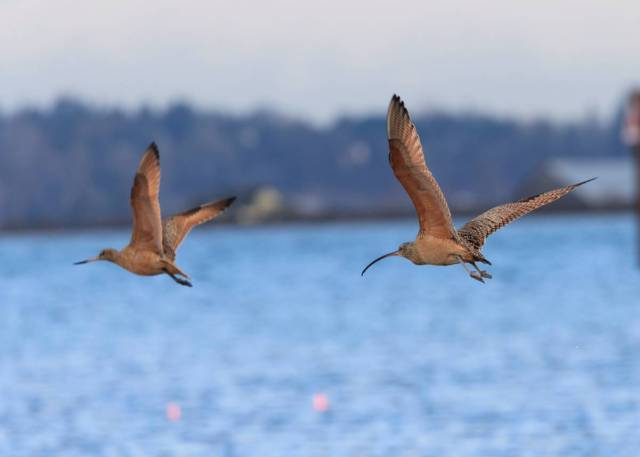 Rena_Curlew_Godwit_fly