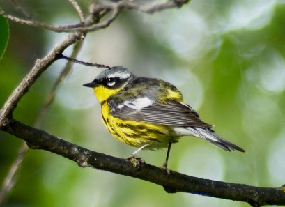 Magnolia Warbler at Candle Lake, SK