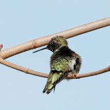 Anna's Hummingbird (PS)