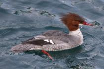 Common Merganser f. (TC)