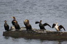 Double-crested Cormorant (TC)
