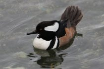 Hooded Merganser m. (TC)