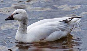 Snow Goose (BA)