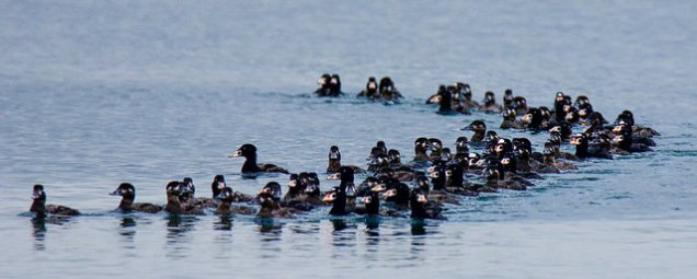 Surf Scoters (BA)