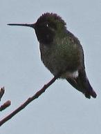 Anna's Hummingbird *DH)