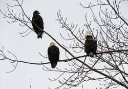 Bald Eagles (DH)