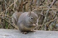 Douglas Squirrel (DH)