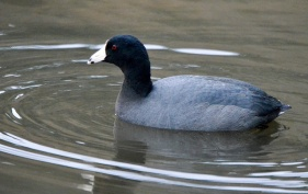 American Coot (GB)