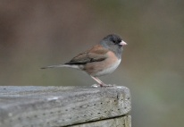 Dark-eyed Junco (GB)