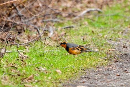 Varied Thrush (GB)