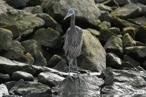 Great Blue Heron (JMacD)