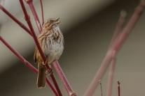Song Sparrow (JMacD)