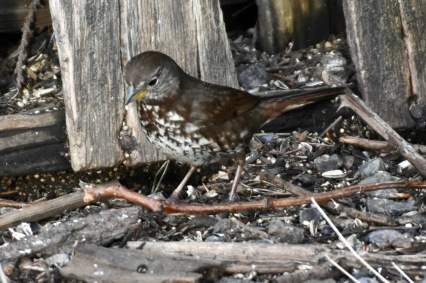 Fox Sparrow (KB)