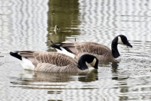 Canada Geese (KB)