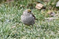 Golden-crowned Sparrow {KB}