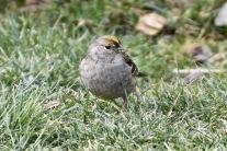 Golden-crowned Sparrow {KB}