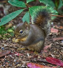 Douglas Squirrel (MS)
