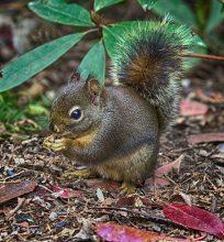 Douglas Squirrel (MS)