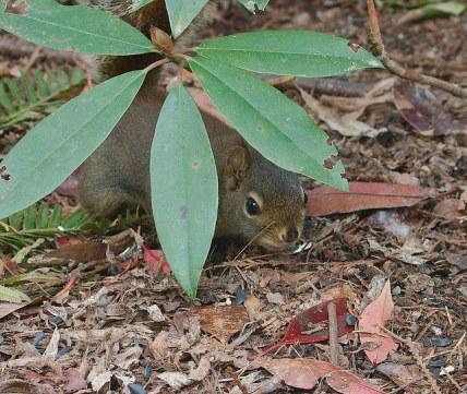 Douglas Squirrel (PS)
