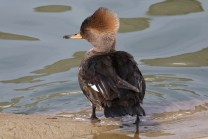 Hooded Merganser (TC)