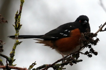 Sp[otted Towhee (TC)