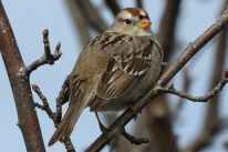 White-crowned Sparrow juv. (TC)