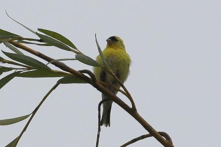 American Goldfinch (TC)