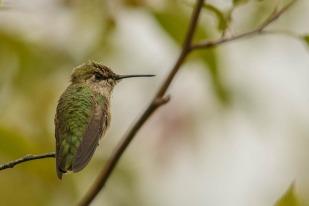 Anna's Hummingbird (JMacD)