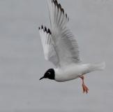 Bonaparte's Gull (GB)