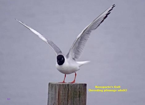 Bonaparte's Gull (DH)