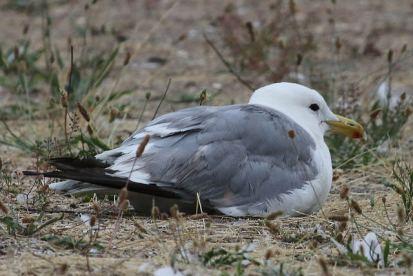California Gull (TC)