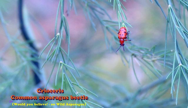DH_Asparagus_beetle