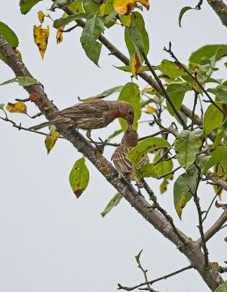 House Finches (PS)