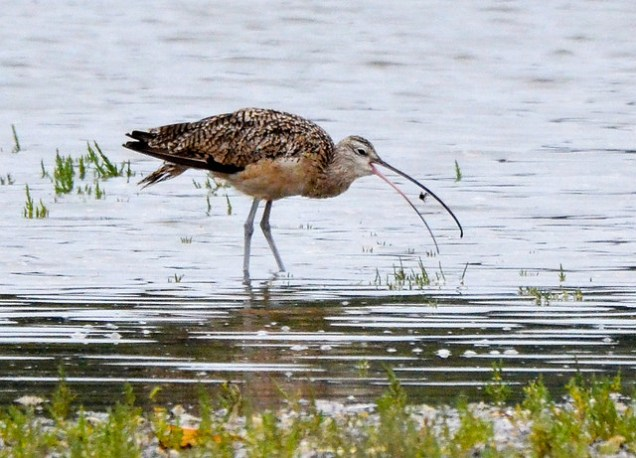 Long-billed Curlew (GB)
