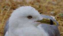Ring-billed Gull (BA)