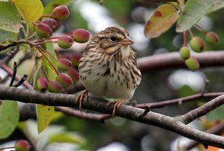 Savannah sparrow (TC)
