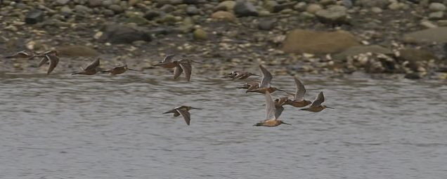 Short-billed Dowitchers (PS)